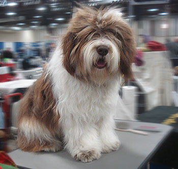 Champion AKC - polish Lowland Sheepdog CIACHO